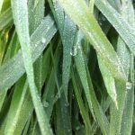 Algues et plantes comestibles du bord de mer Lancieux