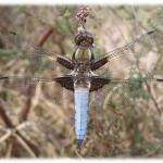 Sortie nature  A la découverte des libellules PLUHERLIN