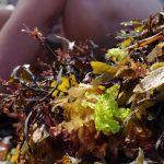 Stage : autour des algues Saint-Quay-Portrieux